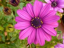 Fruticosa púrpura de Dimorphoteca de la flor Foto de archivo