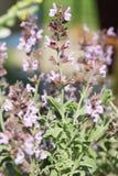Fruticosa Salvia ή ελληνικές λογικές εγκαταστάσεις με τα λουλούδια Στοκ εικόνες με δικαίωμα ελεύθερης χρήσης