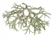 Fruticose lichen isolated on white. Royalty Free Stock Photography