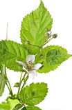 fruticosus悬钩子属植物 免版税图库摄影