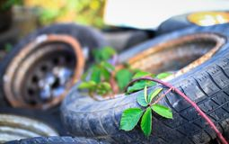 Fruticosus рубуса ежевичника растет над старыми автошинами автомобиля стоковое фото rf