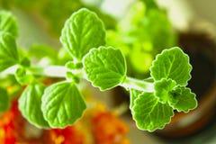 Fruticosus de Plectranthus ou officinalis de Melissa Planta Erva medicinal botany imagens de stock royalty free