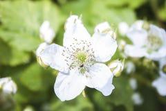 Fruticosus del Rubus, flor de la zarzamora fotografía de archivo libre de regalías