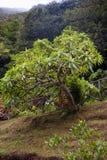Fruticosus L del Sonchus f imagen de archivo libre de regalías