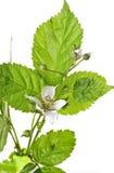 Fruticosus van Rubus Royalty-vrije Stock Fotografie