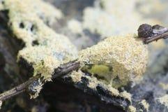 Fruticulosa de Ceratiomyxa Photo libre de droits