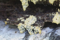 Fruticulosa de Ceratiomyxa Photographie stock