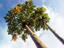 Frutifica a árvore de papaia Imagens de Stock