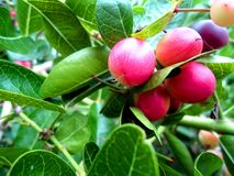 Fruto ácido do fruto de Karonda Fotografia de Stock Royalty Free
