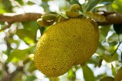 Fruto Ásia do Jackfruit Fotos de Stock
