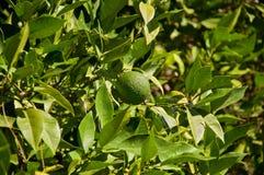 Fruto alaranjado verde da tangerina com folhas verdes Foto de Stock Royalty Free