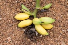 Fruto amarelo da banana no assoalho Foto de Stock Royalty Free