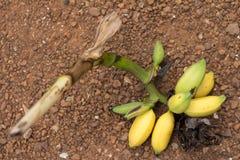 Fruto amarelo da banana no assoalho Fotos de Stock Royalty Free