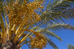 Fruto amarelo em uma palmeira foto de stock