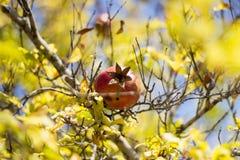 Fruto colorido maduro da romã no ramo de árvore Fotos de Stock