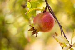 Fruto colorido maduro da romã no ramo de árvore Fotografia de Stock Royalty Free