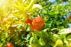 Fruto colorido maduro da romã no ramo de árvore Fim do dia ensolarado acima Fotos de Stock Royalty Free