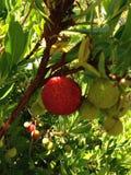 Fruto cravado de uma árvore de morango Fotos de Stock Royalty Free