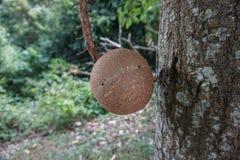 Fruto da árvore da bola de canhão imagem de stock royalty free