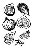 Fruto da árvore de figo isolado no fundo branco Alimento do vegetariano Ilustração botânica do alimento Ilustração do vetor com Foto de Stock Royalty Free