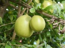 Fruto da Índia do cabaceiro pronto para comer da árvore na combinação vermelha brilhante do jardim Fotografia de Stock