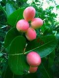Fruto da ameixa em Sri Lanka Fotos de Stock Royalty Free