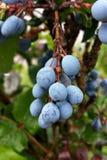 Fruto da ameixoeira-brava Fotografia de Stock Royalty Free