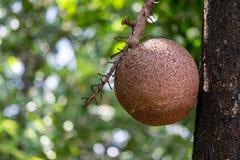 Fruto da bala de canh?o imagem de stock