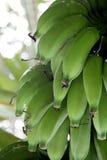 Fruto da banana Fotos de Stock Royalty Free