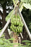 Fruto da banana Fotografia de Stock