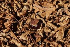 Fruto da castanha no fundo das folhas marrons secas da castanha fotos de stock