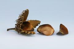 Fruto da faia com casca Foto de Stock