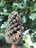 Fruto da flor famosa chinesa da magnólia A fotografia de stock