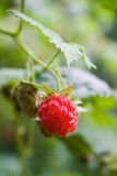 Fruto da framboesa vermelha Imagem de Stock