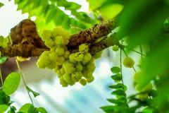 Fruto da groselha da estrela em uma árvore que tenha um gosto ácido fotos de stock