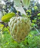 Fruto da maçã de creme fotografia de stock
