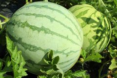 fruto da melancia Fotografia de Stock