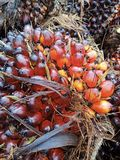 Fruto da palma de óleo fotos de stock