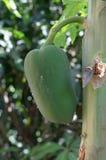 Fruto da papaia Fotografia de Stock