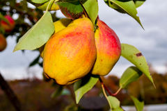 Fruto da pera Fotografia de Stock