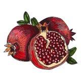 Fruto da romã, baga Alimento saudável da nutrição orgânica Gravura retro tirada mão gravada da romã do vetor do vintage ilustração do vetor