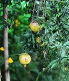 Fruto da romã na árvore nas folhas Fotos de Stock Royalty Free