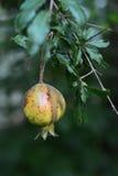 Fruto da romã na árvore nas folhas Imagem de Stock Royalty Free