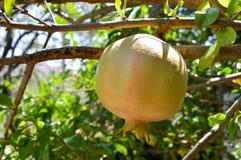 Fruto da romã na luz solar imagens de stock