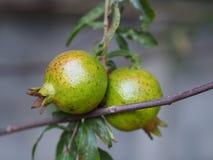 Fruto da romã no ramo de árvore Fotografia de Stock Royalty Free