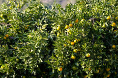 Fruto da tangerina Imagem de Stock