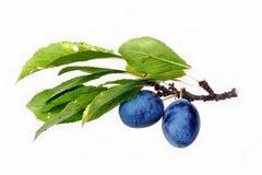 Fruto das ameixas Foto de Stock