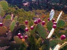 Fruto das peras espinhosas Sabres, frutos das espécies ficus-indica do Opuntia de cacto, igualmente chamadas como o opuntia do fi fotos de stock royalty free