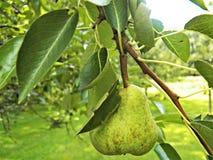 Fruto das peras-tarde do verão Fotografia de Stock