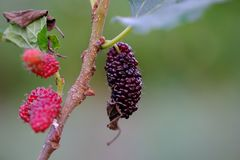 Fruto de árvore da amoreira na exploração agrícola Tailândia Imagens de Stock Royalty Free